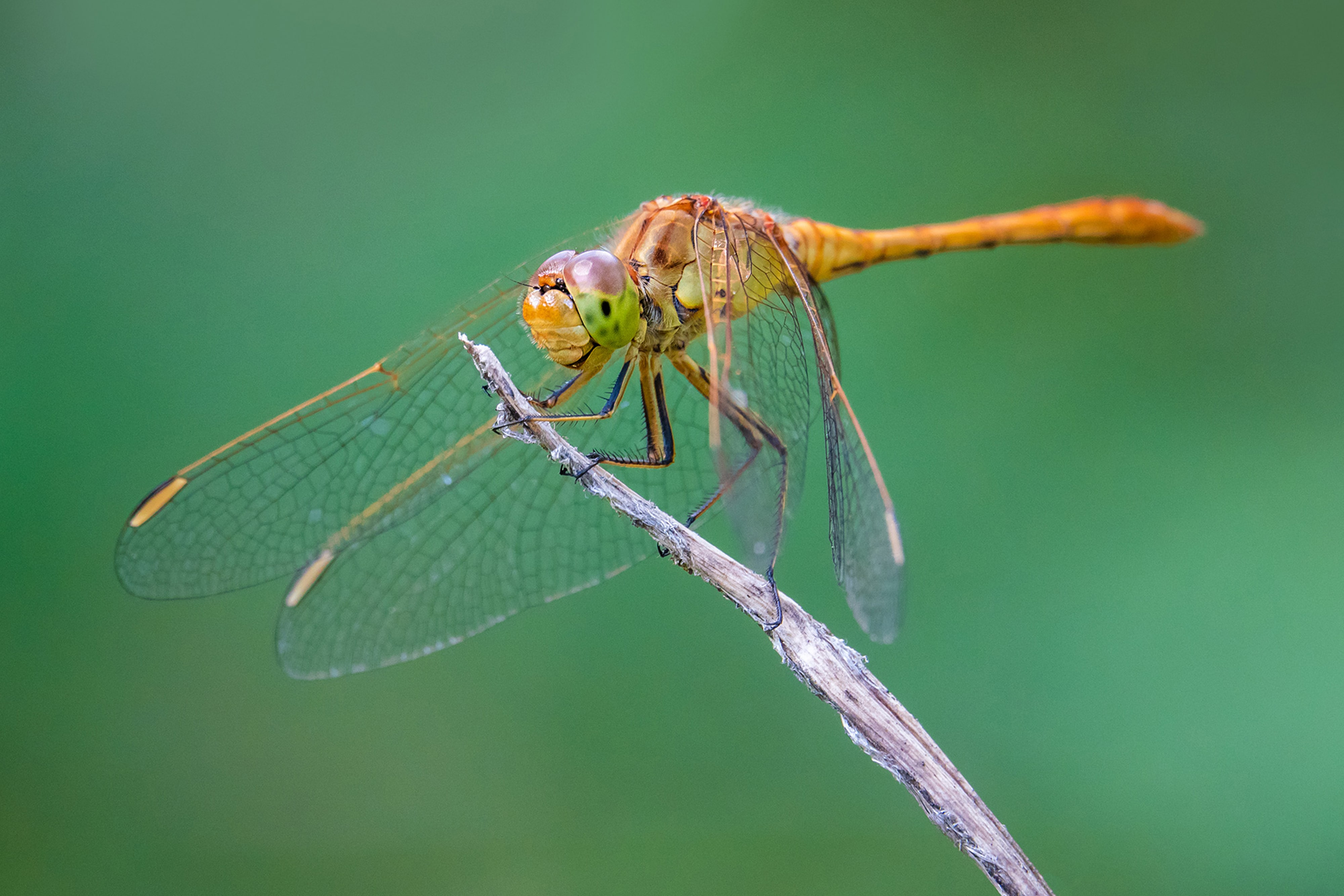 petar-sabol-sony-rx10IV-close-up-of-dragonfly-perched-on-the-end-of-a-twig