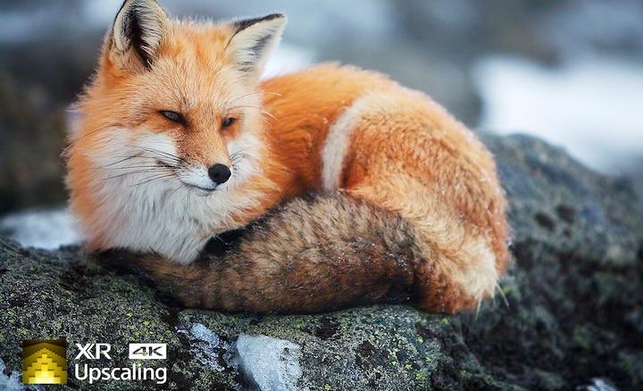 Bild av en räv som visar klarheten i 4K