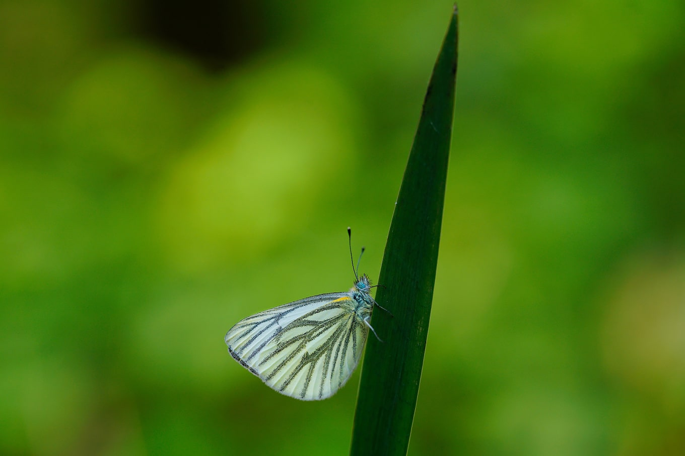 gustav-kiburg-sony-alpha-7RII-butterfly-clings-to-leaf-stem